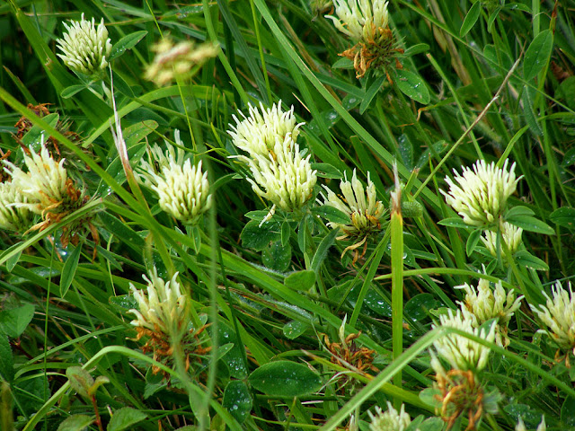 Sulphur Clover Trifolium ochroleucon.  Indre et Loire, France. Photographed by Susan Walter. Tour the Loire Valley with a classic car and a private guide.