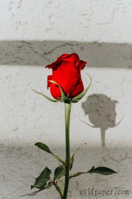 red rose single stick rose rose wallpaper hd rose wallpaper for mobile rose wallpaper free