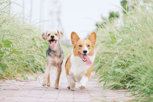 Two dogs are running down a path between tall grass