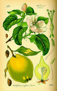 arbol de membrillo