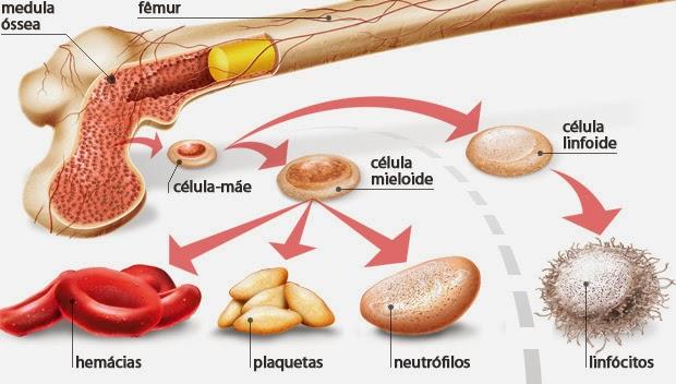 Medula Óssea - (Tecido Mielóide)