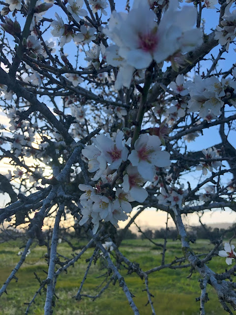 almond flowers santa agnes ibiza