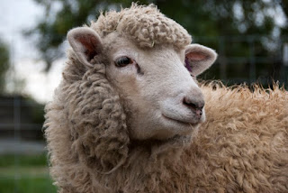 Sheeps dream meaning