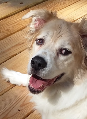Brown and white Great Pyrenees