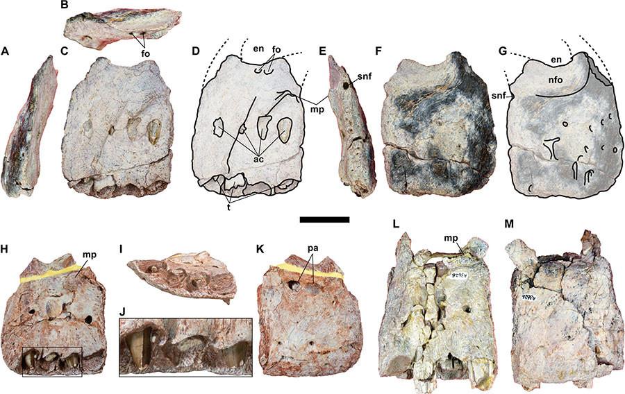 dinosaurio Siamraptor suwati