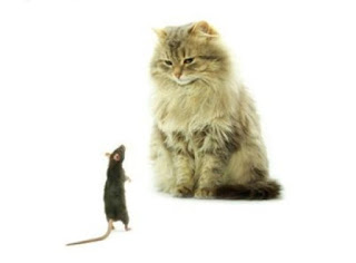 cat, kucing, rat, tikus, toxoplasma gondii, t. gondii, protozoa