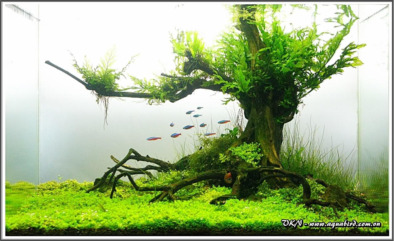 Trong hồ thủy sinh này, cây lũa được buộc dương xỉ