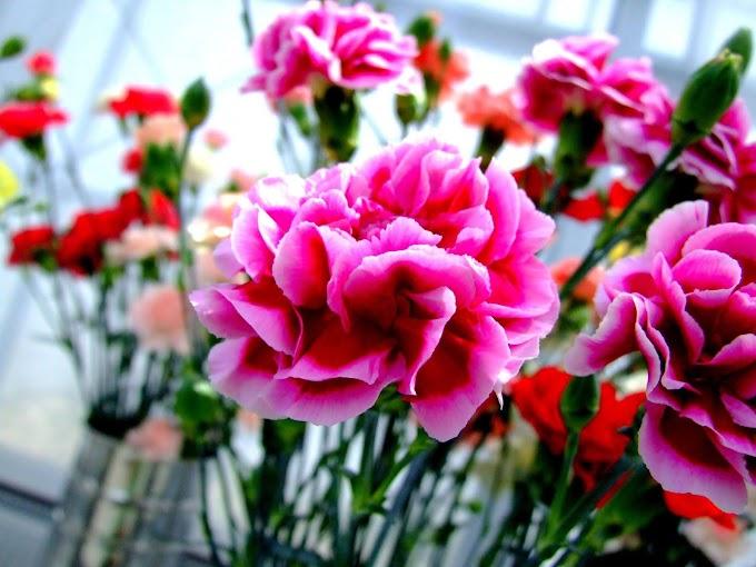 071 #綺麗 #花 #カーネーション #ピンク