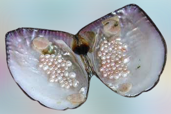 Fresh Water Pearl Mussels
