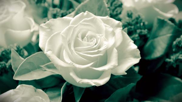 wallpaper mawar putih