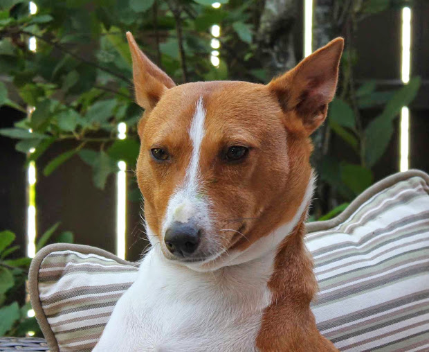 Basenji Puppies For Adoption - Year of Clean Water