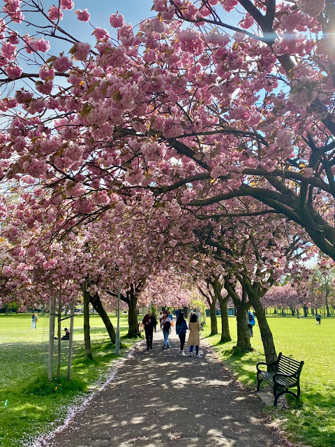 Spring time pink cherry blossom avenue of trees in the Meadows, Edinburgh, Scotland