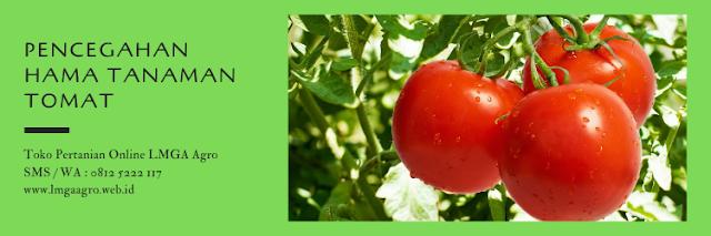 hama,hama tanaman,budidaya tomat,pertanian,tomat,lmga agro