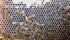 Η βελανιδιά (Δρύς) και το μέλι της: Όλα τα μυστικά της σημαντικότατης αυτής μελιτοφορίας!