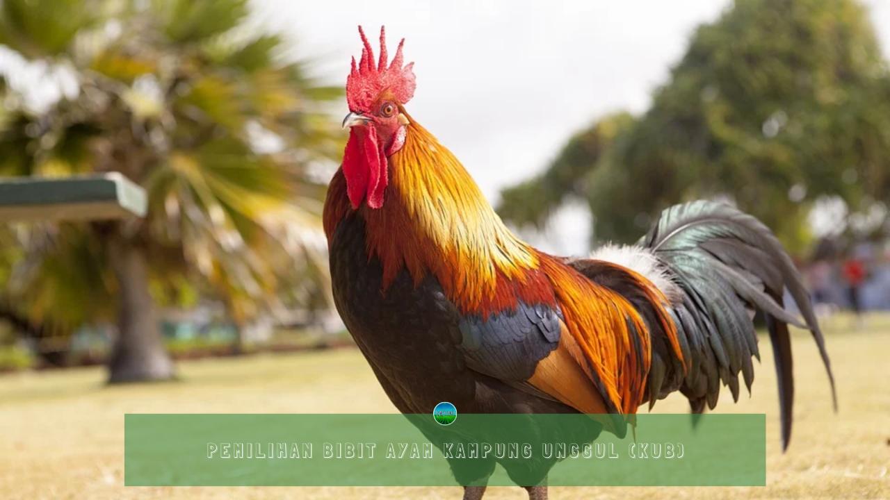 Pemilihan Bibit Ayam Kampung Unggul (KUB)