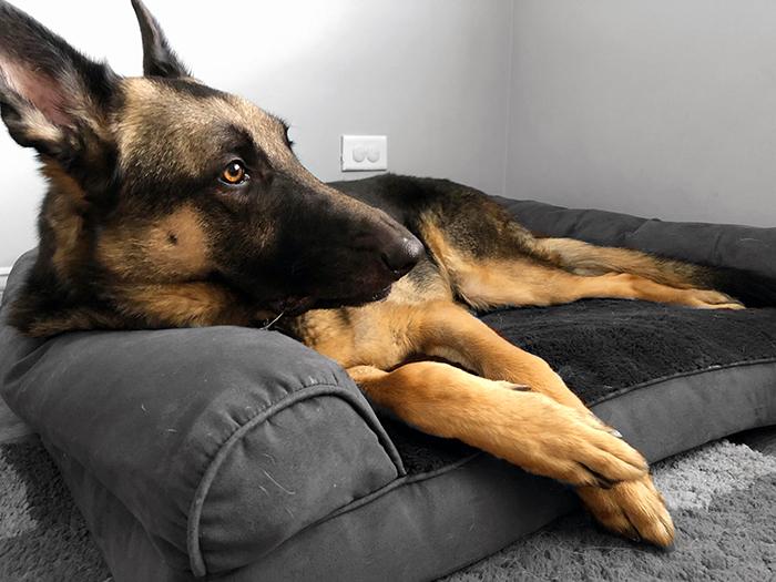 Finn the German Shepherd dog lounging