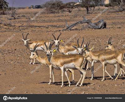 Gacela arábica del desierto (Gazella marica)