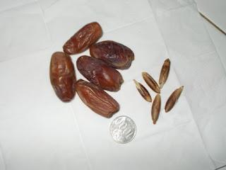 buah kurma unggul biji kurma deglet nour