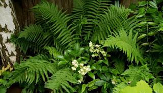 woodland perennials