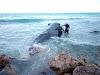 Muere ballena en costas de Barahona tras varios días varada