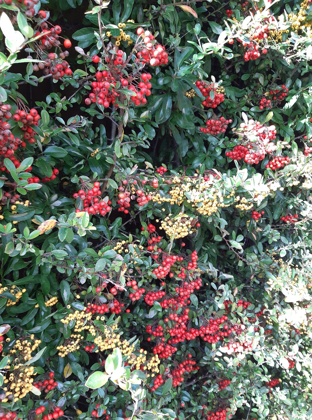 bush with berries on