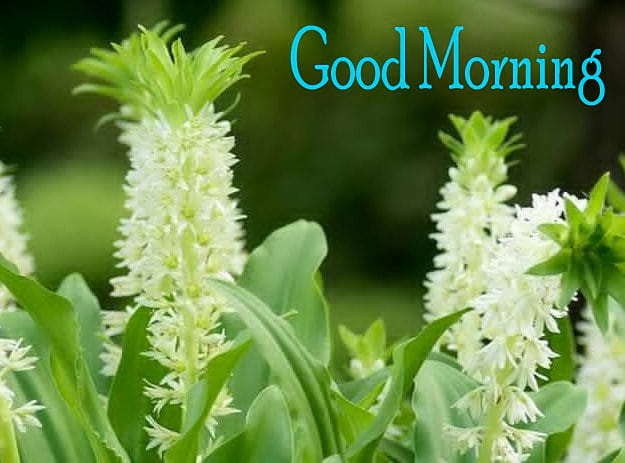 Good Morning Pineapple Lily Flowers
