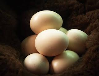 Penyebab telur lovebird tidak menetas