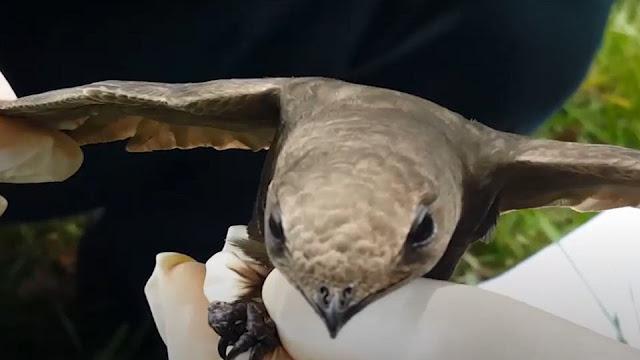 قصة طائر الأبابيل الذي عثر عليه بالجزائر القصة كاملة