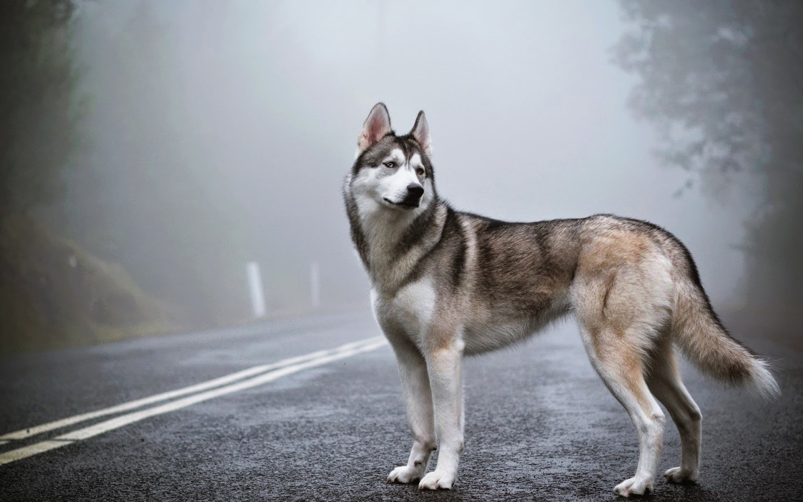 latest hd wallpaper: Siberian Husky Blue Eyes