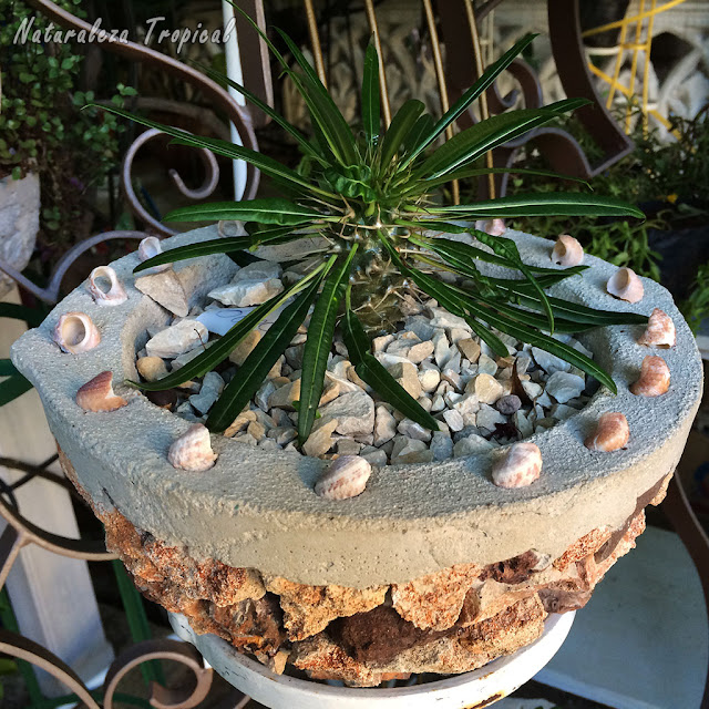 Planta suculenta del género Pachypodium, Palma de Madagascar. Está completamente adaptada a extensas sequías.