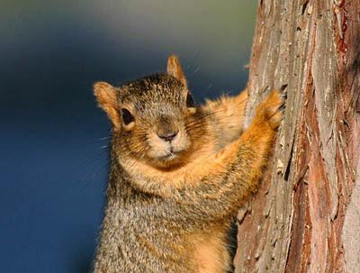 Portrait photo of red squirrel on cedar tree trunk
