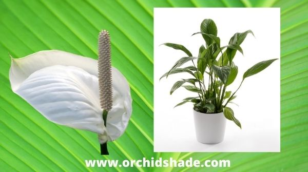 My all-time favorite houseplant | Spathiphyllum