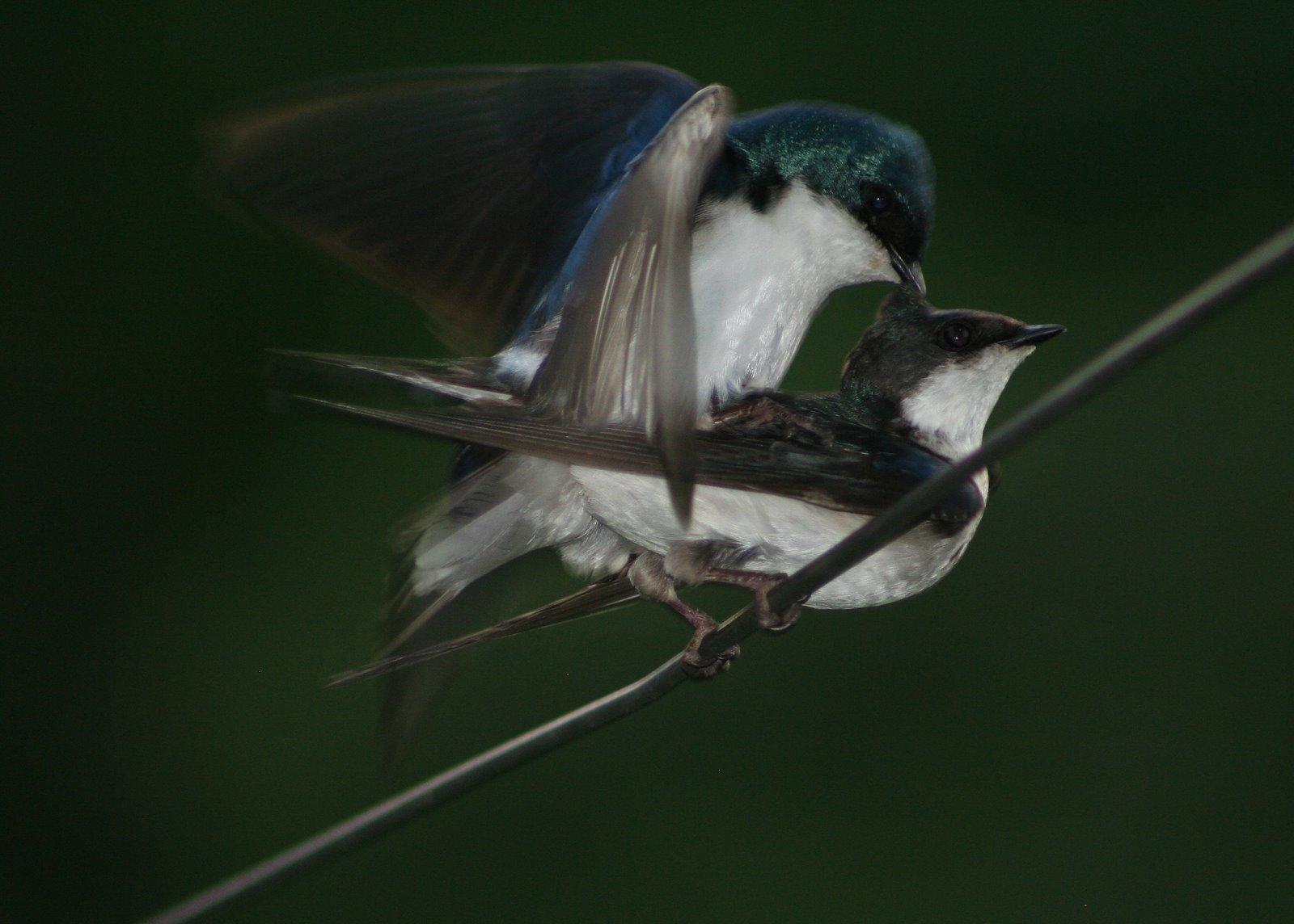 how do birds have sex porn
