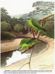Cotorrita amazónica: Nannopsittaca dachilleae