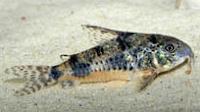 Jenis Ikan Corydoras longipinnis