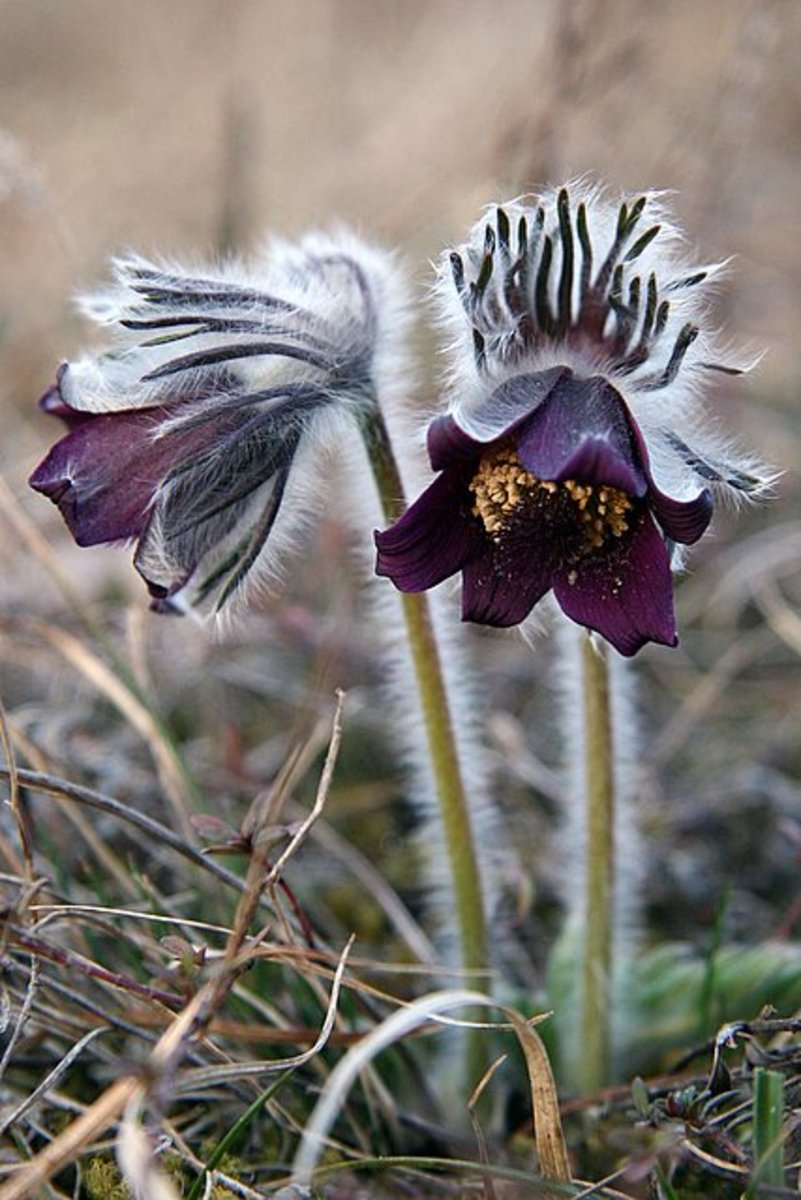 Pulsatilla with downy hairs that grow on it steams