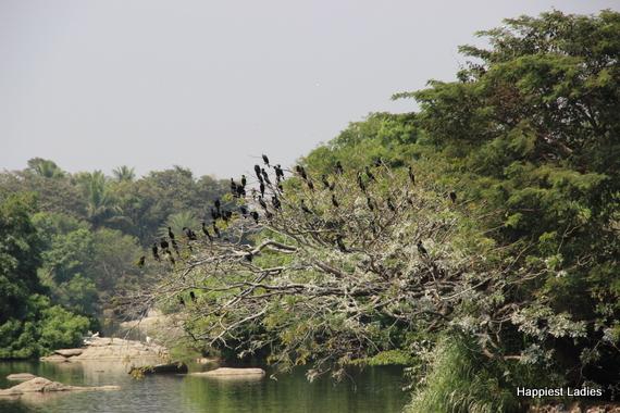 migratory birds ranganathittu mandya mysore