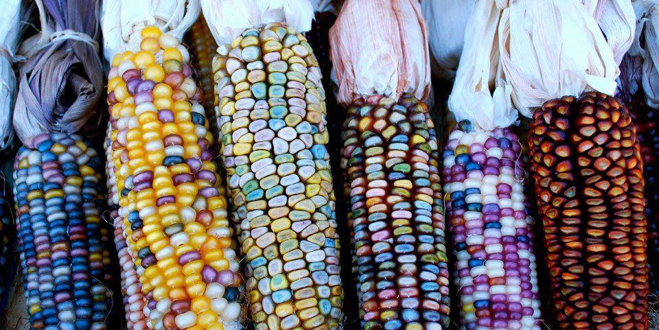 5 tipos de maíz que no conocías