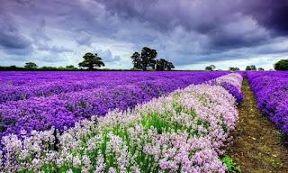 اجمل الحقول بها ورود البنفسج الجميلة