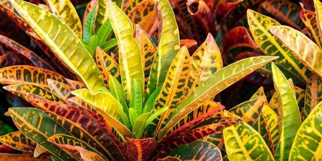 9 jenis tanaman puring