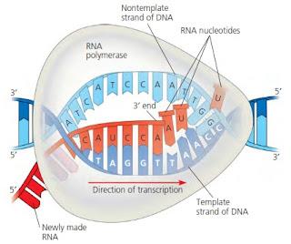 transkripsi pada prokariota