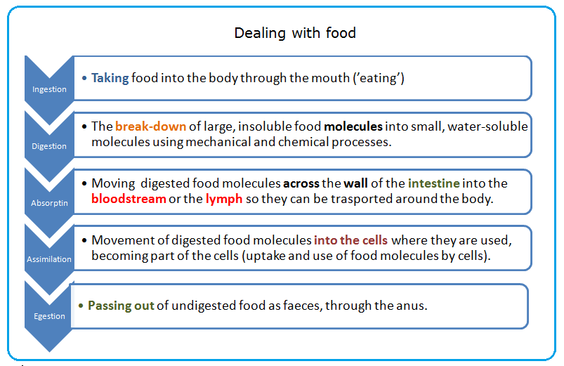 52 Human alimentary canal   Biology Notes for IGCSE 2014