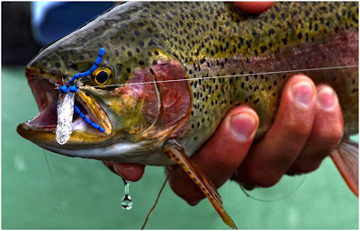 mating damsel fly rainbow trout dryfly dry