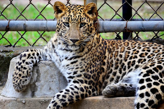 information about leopard in hindi, about Leopard info