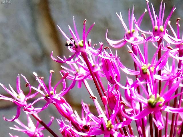 Цветок Лук Кристофа