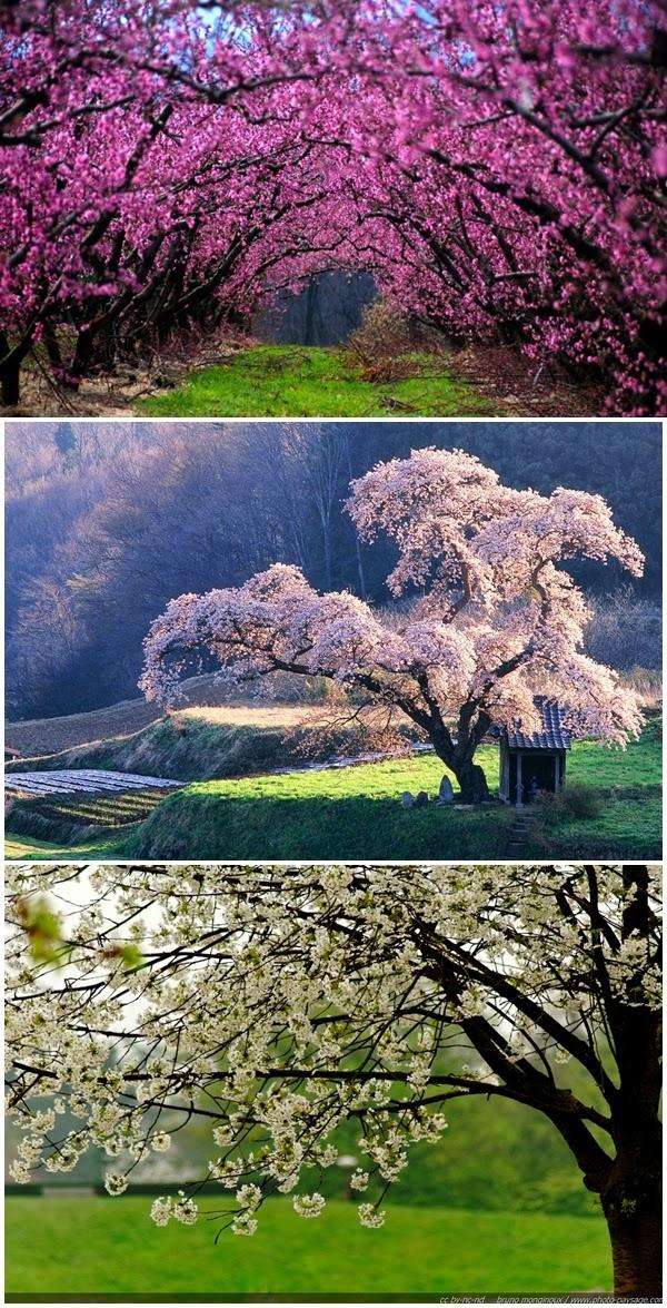 Copaci infloriti gradina livada primavara