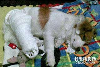 cães com imobilização