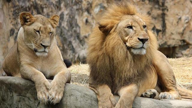 Rüyada aslan görmek ne demek? rüyada dişi erkek saldıran aslan, rüyada aslan avlamak, öldürmenin manası nedir? aslan rüyaları anlamları.