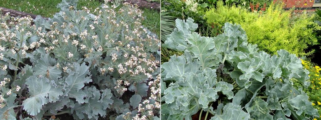 byliny o zielononiebieskich liściach
