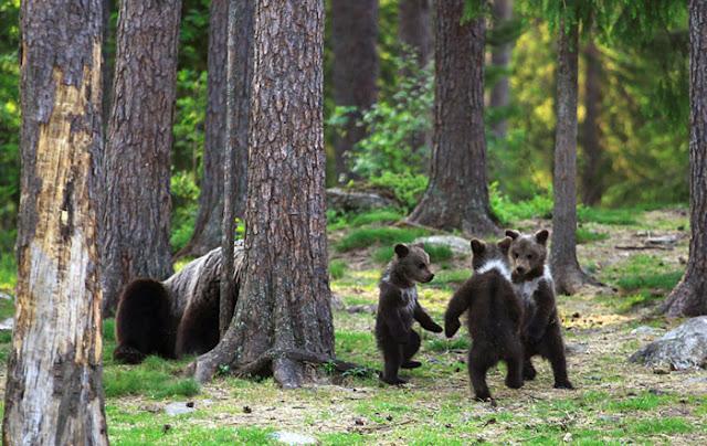 Homem flagra três ursos dançando no meio da floresta, pensou que era sua imaginação 3